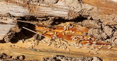 مكافحة النمل الابيض فى الخشب